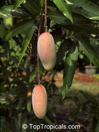 Mangifera indica - Himsagar, Large size, Grafted  Click to see full-size image
