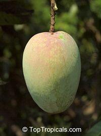 Elephant Mango