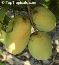Mangifera indica - Dasheri Mango, Large size, Grafted  Click to see full-size image