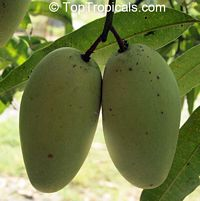 Mangifera indica - Cac Mango, Grafted  Click to see full-size image
