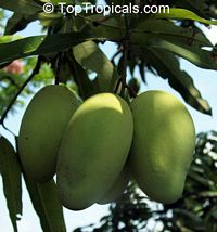 Mangifera indica - Si Siam Mango, Large size, Grafted