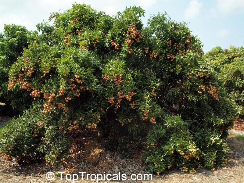 litchi chinensis, nephelium litchi, lychee, lichee  toptropicals, Beautiful flower