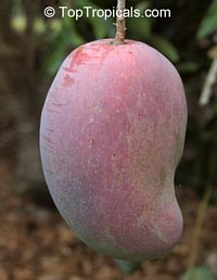 Mango Cogshall