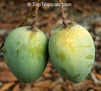 Mangifera indica - Diamond Mango, Grafted  Click to see full-size image