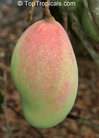 Mangifera indica - Maha Chinook, Large size, Grafted  Click to see full-size image