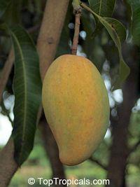 Mangifera indica - Manilita Mango, GraftedClick to see full-size image