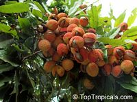 Litchi chinensis - Lychee Mauritus, Air-layered  Click to see full-size image
