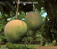 Mangifera indica - Wise Mango, Grafted  Click to see full-size image