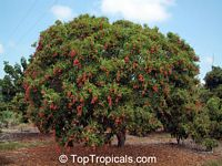 Litchi chinensis, Nephelium litchi, Lychee, Lichee