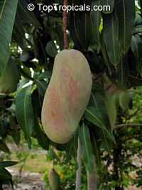Mangifera indica - Valencia Pride Mango, Grafted  Click to see full-size image