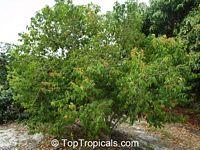 Flacourtia rukam, Flacourtia euphlebia, Rukam  Click to see full-size image