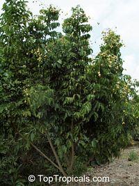 Clausena lansium, Clausena punctata, Cookia wampi, Quinaria lansium, Wampee, WampiClick to see full-size image