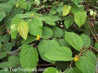 Grewia asiatica, Grewia subinaequalis, Phalsa, Falsa   Click to see full-size image