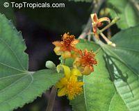 Grewia asiatica