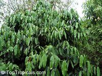 Garcinia xanthochymus
