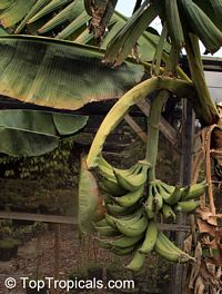 Musa - Plantain FHIA 21