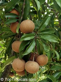 Achras (manilkara) zapota - Sapodilla Brown Sugar, Air-layered 