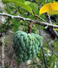Annona squamosa - Sugar Apple, 7 gal pot  Click to see full-size image
