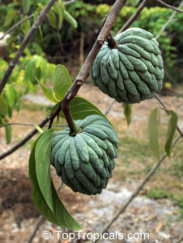 anon fruit - photo #26