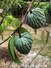 Annona squamosa var. Thai-Lessard, Green Sugar Apple  Click to see full-size image