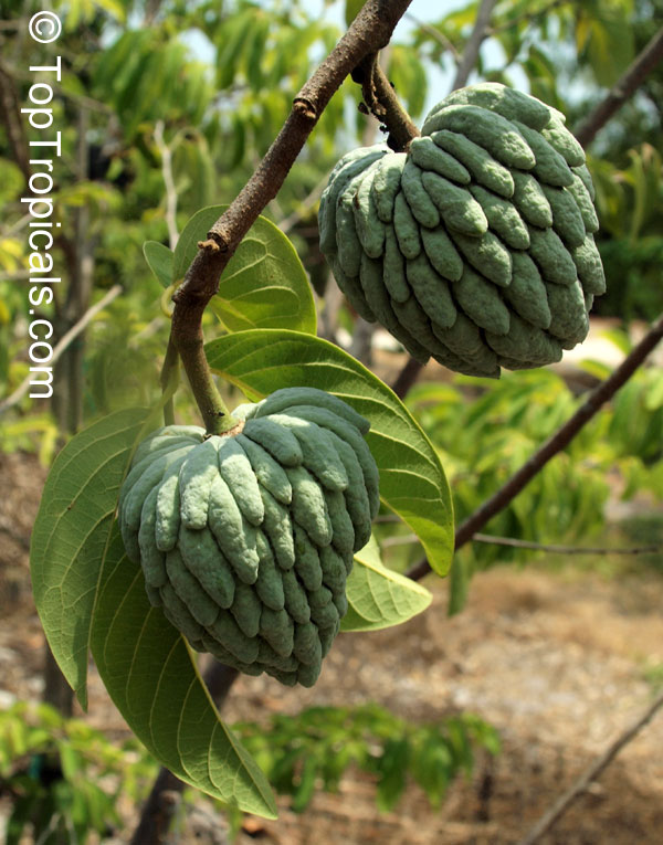 anon fruit - photo #38