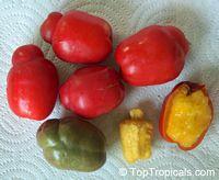 Spondias purpurea, Purple Mombin, Hog Plum, Ciruela, JocoteClick to see full-size image