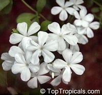 Plumbago auriculata Alba  Click to see full-size image