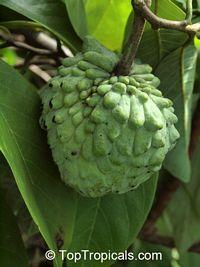 Annona cherimola x A. squamosa - Atemoya Geffner  Click to see full-size image