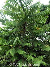 Cananga odorata, Unona odoratissima, Ylang Ylang, Perfume Tree, Chanel #5 Tree, Ilang-ilang, MaramarClick to see full-size image