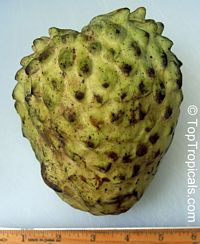 Annona cherimola x A. squamosa Lennox - Giant Fruit  Click to see full-size image