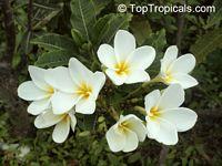Plumeria Alba, Dwarf PlumeriaClick to see full-size image