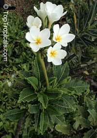 Plumeria Alba, Dwarf Plumeria  Click to see full-size image
