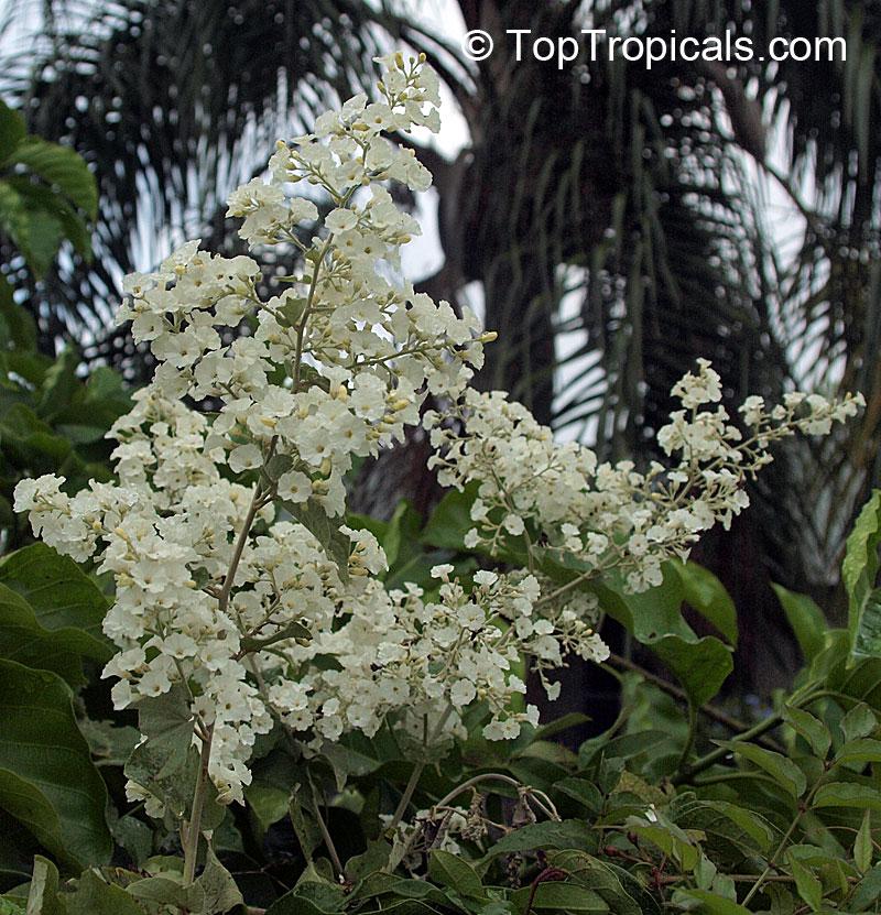 poranopsis paniculata  porana paniculata  christmas vine