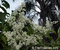 Poranopsis paniculata, Porana paniculata, Christmas Vine, Bridal Bouquet, Snow Creeper  Click to see full-size image