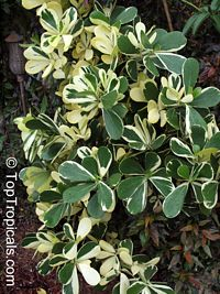Clusia rosea variegata - Variegated Autograph Tree
