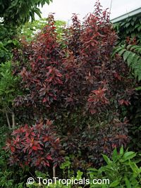 Acalypha Inferno, Flame Copper leaf  Click to see full-size image