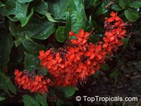 Clerodendrum splendens - Flaming glorybower  Click to see full-size image