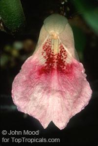 Boesenbergia rotunda - Chinese gingerClick to see full-size image