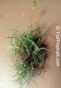 Tillandsia sp., Tillandsia  Click to see full-size image