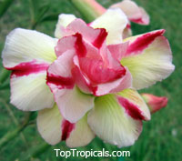 Adenium Thong Panchang, Grafted  Click to see full-size image