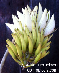 Erythrina alba - White Coral Tree