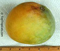 Mangifera indica - Rumani Mango, Grafted  Click to see full-size image