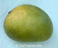 Mangifera indica - Alphonso Mango, Grafted  Click to see full-size image