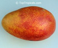 Mangifera indica - Coconut Cream Mango, Grafted