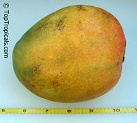 Mangifera indica - Pineapple Pleasure, Large size, Grafted  Click to see full-size image