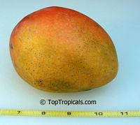 Mangifera indica - Honey Kiss, Large size, Grafted  Click to see full-size image