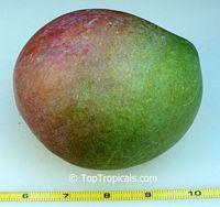 Mangifera indica - Jacqueline Mango, Large size, GraftedClick to see full-size image