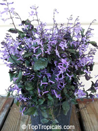Plectranthus Mona Lavender  Click to see full-size image