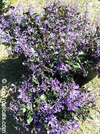 Plectranthus ecklonii Mona Lavender, Mona Lavender, Plectranthus hybrid