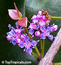 Memecylon ovatum, Memecylon edule var. ovatum, Ironwood Tree, Phlong Kin Luuk, Delek Air  Click to see full-size image
